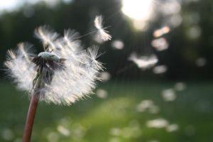 Content erstellen Seeding Pusteblume
